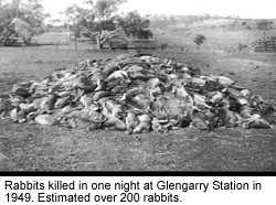 Rabbits killed in one night at Glengarry Station in 1949. Estimated over 200 rabbits.